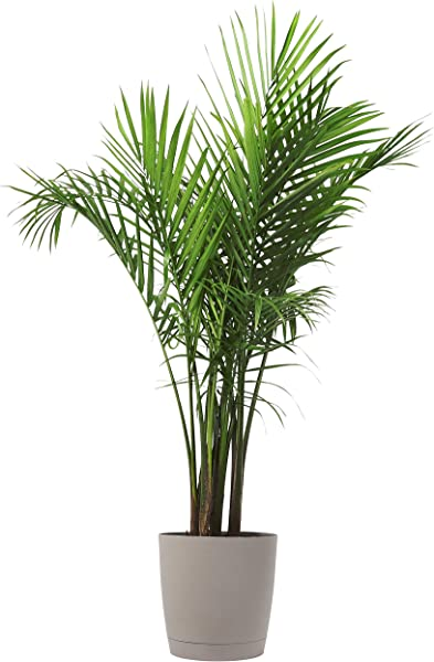 Costa Farms Majesty Palm Tree Live Indoor Plant 3 To 4 Feet Tall Ships With D Cor Planter Fresh From Our Farm Excellent Gift Or Home D Cor