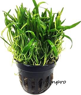 dwarf sword plant