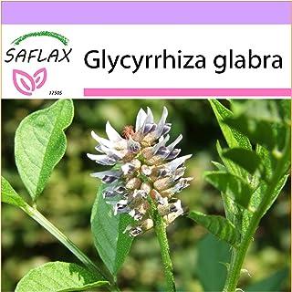 SAFLAX - Regaliz u orozuz - 30 semillas - Glycyrrhiza glabra