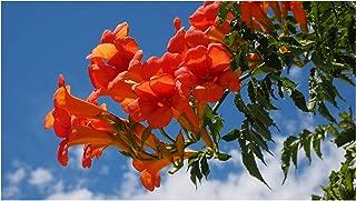 Campsis radicans 20 Seeds Trumpet Vine Hummingbird Vine Orange Trumpet-Shaped Flowers Drought Tolerant Ornamental Plant Zones 5+