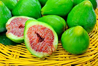 10 CUTTINGS OF DESERT KING FIG TREE, HARDY TREE, SUPER SWEET FRUIT, FAST GROWING