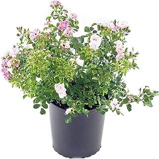 Flower Carpet Roses - Rosa Appleblossom (Rose) Rose, pale pink flowers, #2 - Size Container