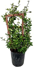 Confederate Jasmine with Trellis - Live Plant in a 3 Gallon Pot - Trachelospermum Jasminoides - Tough Low-Maintenance Vine