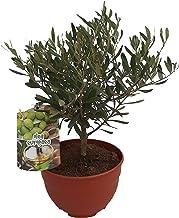 Amazon.es: bonsai olivo