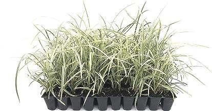 Aztec Grass - 15 Live Plants - Variegated Liriope Ophiopogon Intermedius Argenteomarginatus Evergreen Ground Cover