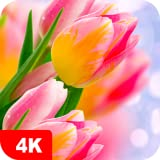Tulip Wallpapers 4K & HD Backgrounds apps