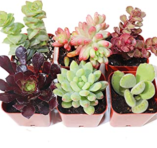 Succulent Plants 6-Pack, Fully Rooted in Planter Pots with Soil - Real Live Potted Succulents,Hand Selected Variety Pack of Mini Succulents (6 Pack)