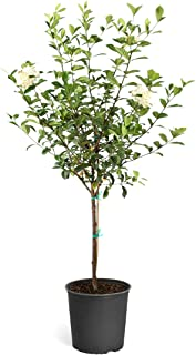 Brighter Blooms - Double Blooming Gardenia Tree, 3-4 Feet - No Shipping to AZ