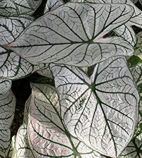 (6) Colorful Shade Loving Fancy Caladium White Christmas Bulbs for Growing Your Own Caladium Plants