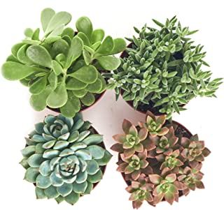Shop Succulents | Assorted Collection of Live Succulent Plants, Hand Selected Variety Pack of Succulents | Collection of 4