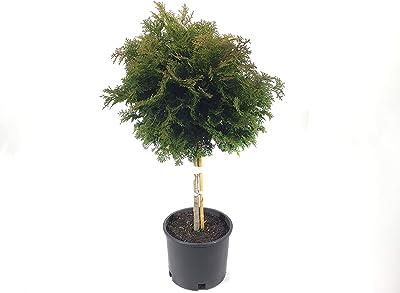 Premier Plant Solutions 21537 Templehof Tree Hinoki Cypress (chamaecyparis obtusa tempelhof), 3 Gallon, Green