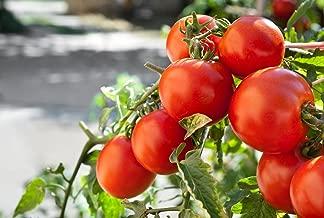 Marglobe Tomato 500+Seeds, Premium Heirloom Seeds, Top Selling Tomato Seeds, (Isla's Garden Seeds), Non Gmo Organic Survival Seeds, 90% Germination, Highest Quality