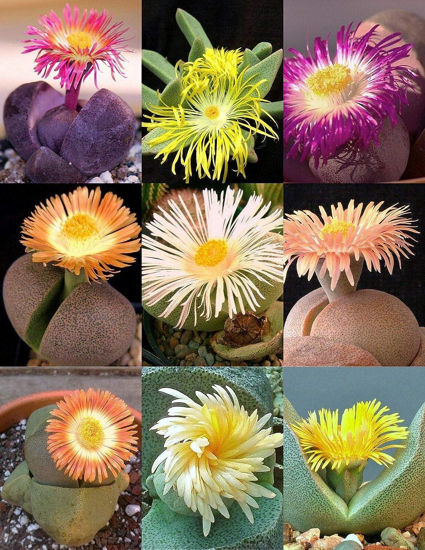AchmadAnam Pleiospilos Max 48% OFF Mix Succulent Cactus Sale Living Mixed Stones