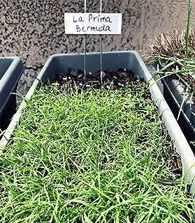 LaPrima Bermuda Grass Seed