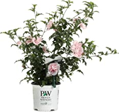 Best rosa sharon bush Reviews