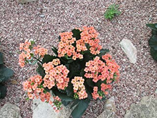 Kalanchoe a tropical succulent plant (English Edition