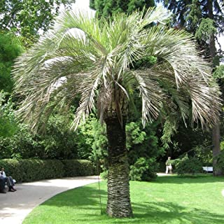 Best jelly palm tree for sale Reviews