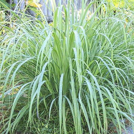 500 very fine seeds cymbopogon ciatrus Details about  /LEMON GRASS