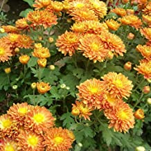 Yvetti 100Pcs Ground-Cover Chrysanthemum Seeds Beautiful Easy to Grow Home Landscape Ornaments Bonsai Garden Courtyard Home Office Multiple Colors Available Orange