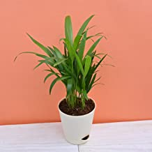 Ugaoo Areca Palm Air Purifier Natural Live Plant
