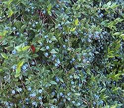 Biblical Greek Myrtle Plant - Myrtus communis - 4