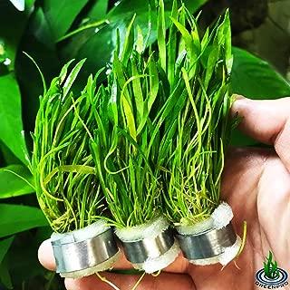 Greenpro Micro Sword Lilaeopsis Novaezelandiae 3-Bunch Freshwater Live Aquarium Plants Carpet Tank