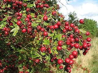 Single Seed English Hawthorn, Crataegus monogyna, Tree Seeds (Showy, Hardy) 60 seeds