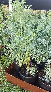 Ruda Plant Common Rue Ruta graveolens Herb of Grace 12