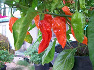 Bhut Jolokia-Ghost Chile 10 Dried Peppers