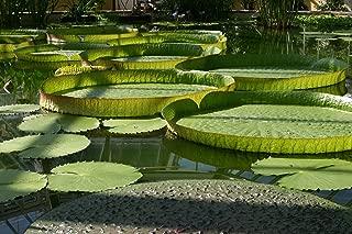 Victoria Amazonica Giant Waterlily