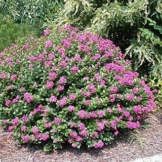 Pixies Gardens (Liner) Pocomoke Dwarf Cold Hardy Crape Myrtle Plant, Purple-Pink Flowers Unique Shrub