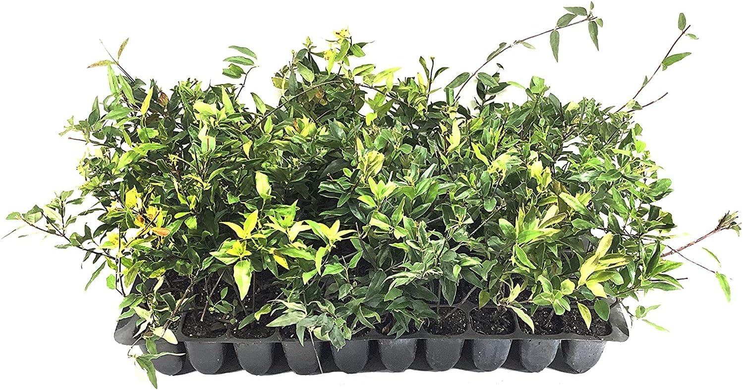 Gelsemium Sempervirens Jessamine Beautiful Fragrant Blooming Vine 10 Live Plants Carolina Jasmine