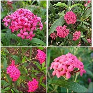 Best panama rose plant Reviews