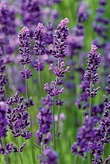 Daisy Garden Giant Hyssop - 1000 Seeds - Agastache Mexicana Lavender Blue - Perennial Flower