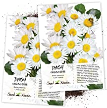 Seed Needs, White English Daisy (Bellis perennis) Twin Pack of 1,000 Seeds Each