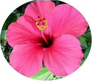 Emeralds TM Landscape Hibiscus Plant Single Hot Pink Heirloom Favorite Yoder
