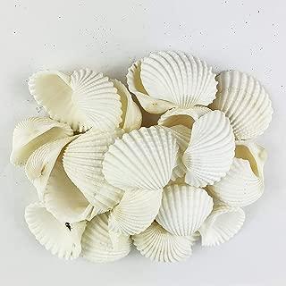 Worlds 8OZ White Clamrose Seashells for Crafts 1-3/4