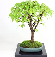 清香園 テーブルの上で楽しんでいただける ケヤキの盆栽