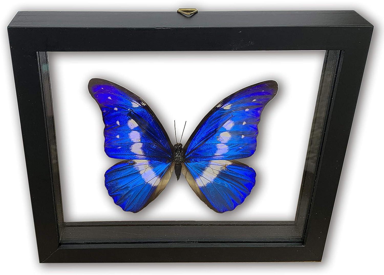 mart RHETENOR Blue Morpho Helena Super beauty product restock quality top 3D Real Butte -Taxidermy Butterflies