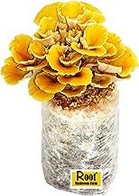 Root Mushroom Farm—Golden Oyster Mushroom - All in one Gourmet Mushroom Growing kit-New Launched