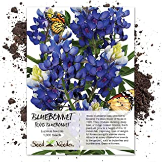 Seed Needs Bulk Package of 1,000 Seeds, Texas Bluebonnet (Lupinus texenis) Non-GMO Seeds