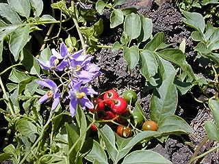 porcupine tomato seeds