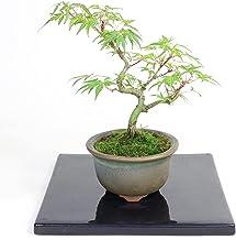 清香園 テーブルの上で楽しんでいただける モミジ 織姫もみじの盆栽 手のひらサイズ