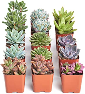 Shop Succulents   Assorted Collection of Live Succulent Plants, Hand Selected Variety Pack of Mini Succulents   Collection of 15