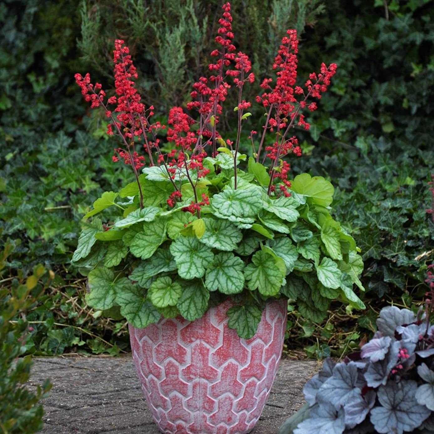 heuchera DOLCE APPLETINI green red coral bells 2.5