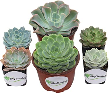 Shop Succulents   Radiant Collection   Assortment of Hand Selected, Fully Rooted Live Indoor Rose-Shaped Succulent Plants in