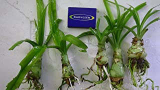 African Onion Plant - Crinum aquatica - Live Aquarium Plant