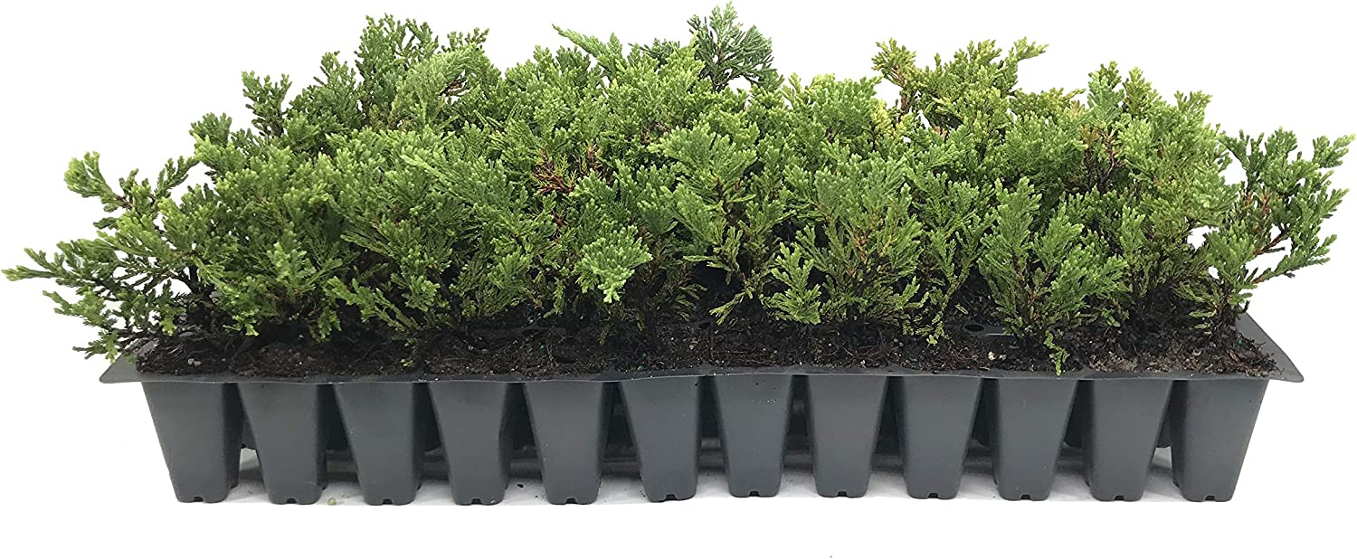 Prince of Wales Juniper - 30 Live Plants Special price for a limited time Cold Tolerant Weekly update Drought