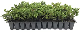 Prince of Wales Juniper - 10 Live Plants - Drought Tolerant Cold Hardy Evergreen Ground Cover
