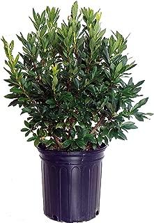 lemon drop shrub